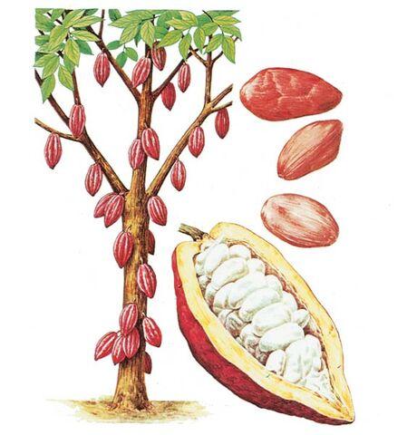 File:Cacao tree.jpg
