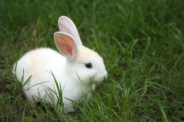 File:White bunny.jpg