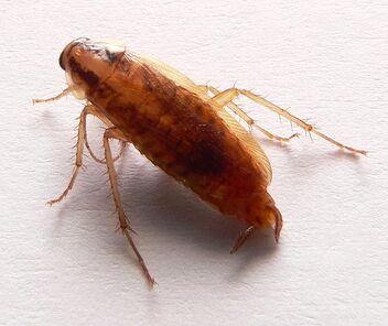 712px-Blatella germanica p1160206