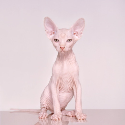 File:Bald Pussy-not what you were expecting am I.jpg