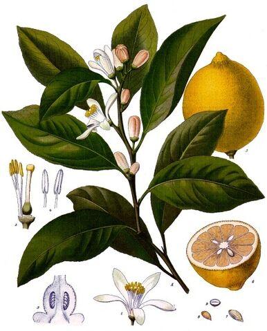 File:Lemons.jpg