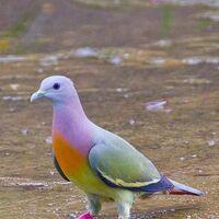 Tropical Pigeon original