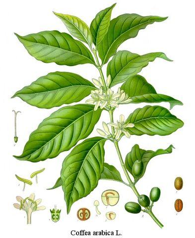 File:Coffea-arabica.jpg