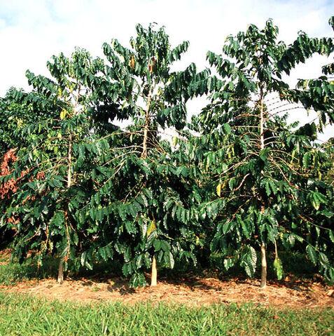 File:Hawaiian Coffee trees.jpg