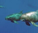 Orca pigmea