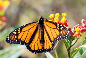File:960509 monarch.jpg