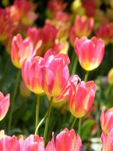 File:1008564 tulips.jpg