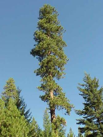 File:Ponderosa Pine.jpg
