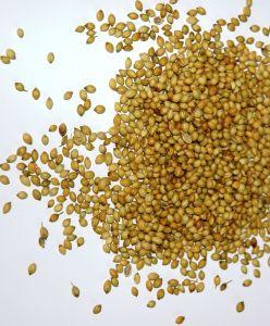 313506 coriander grains spice