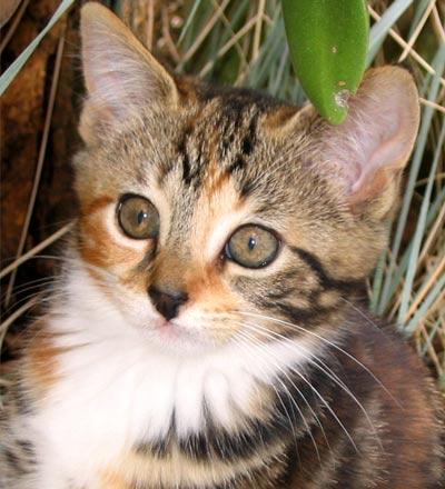 File:Tabby-kitten-tiger.jpg