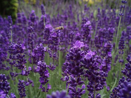 File:Flying Over Lavender.jpg