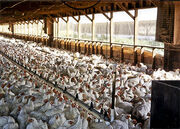 20090507-factory-farm-chickens