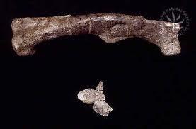 File:Dryosaurus bones.jpj.jpg