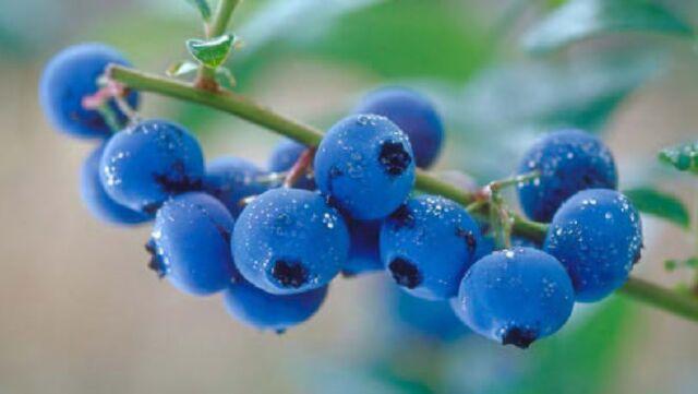 File:Blue berries.jpg