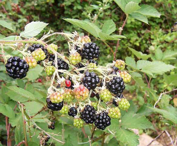 File:-Blackberry fruits10.jpg
