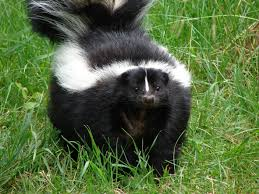 File:Skunkingrass.jpg