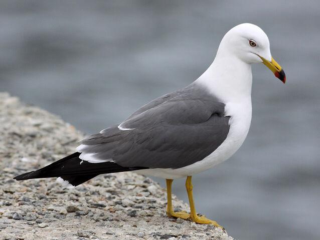 File:Black-tailed-Gull TE-2.jpg