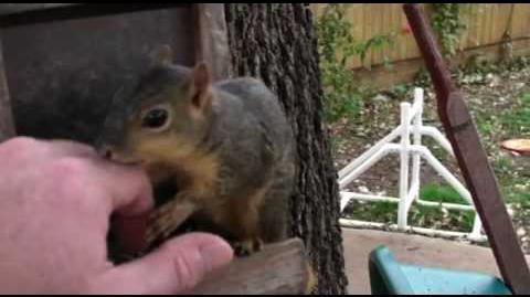 Vicious wild squirrel attack-0