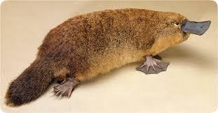 File:Platypus (1).jpg