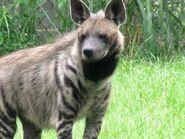 Striped hyena by dirtyxlove