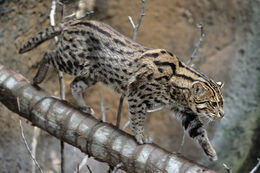 Fishing cat02