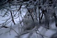 Snowshoe-hare 02.ngsversion.1486580162659