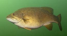Deep-Water-Smallmouth-Bass