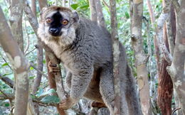 Red-fronted brown lemur 1