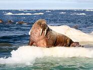Atlantic-walrus-feature-2