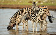 Zebra-family-desktop-background