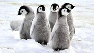 Emperor-penguin-chicks.jpg.adapt.945.1