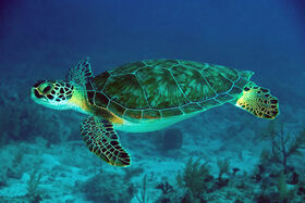 Green-Sea-Turtle-061022-French-Reef-KL-IMG 4313