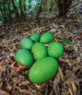 05-cassowary-eggs-580v