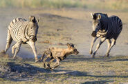 Zebras-chase-off-wild-dog-savuti-camp-590x390