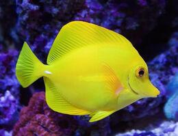 Yellow-tang3