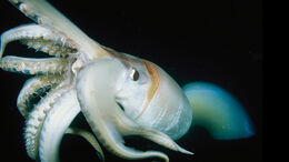 Giant-squid-closeup.ngsversion.1411589806318