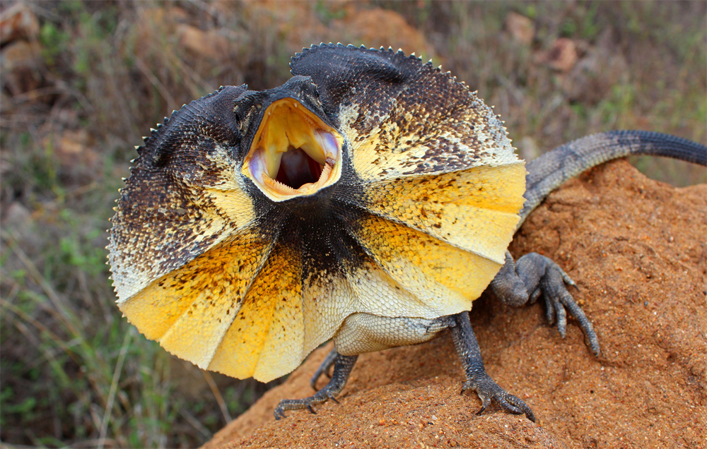 Frilled-Neck Lizard | Creatures of the World Wikia ...