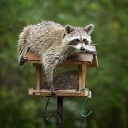Hh-animals-raccoon-3
