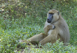 Yellow Baboon, Amboseli National Park, Kenya