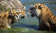 Amur Tiger 8.9.2012 Why They Matter2 XL 233535