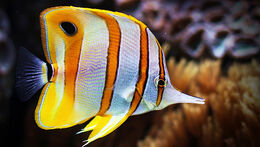 Copperband-butterflyfish1