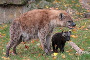 Female-Spotted-Hyena
