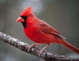 Northern-Cardinal-Birds-images-Desktop-Widescreen