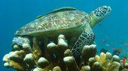 Green-sea-turtle-on-coral.jpg.adapt.945.1