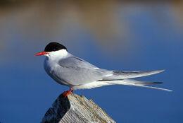 Arctic Tern m17-45-163 V