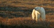 North-Churchill-Summer-4-polar-bear