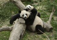 Tai shan and mei xiang - smithsonians national zoo 1 slideshow