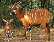 Bongo-mama-calf