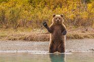 Waving-bear