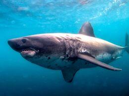 Salmon shark ENH